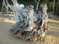 Driftwood stumps