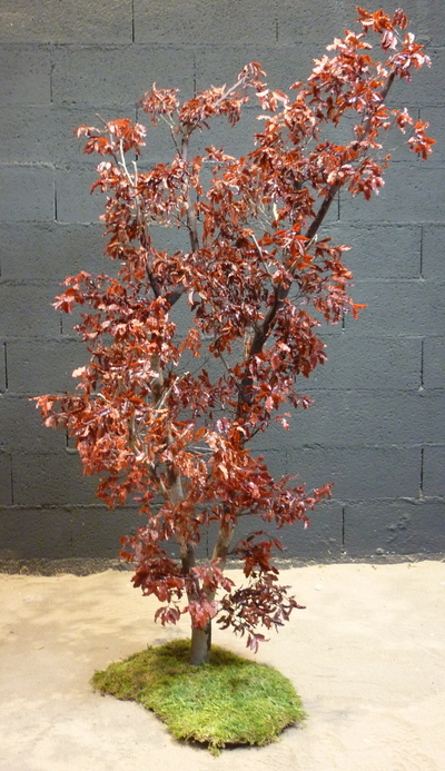 Pittosporum rouge