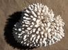 Corail doigt 50cm