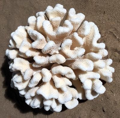 Corail Patte de chat 30cm