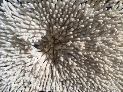 Corail table 45cm