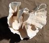 Corail cup 40cm