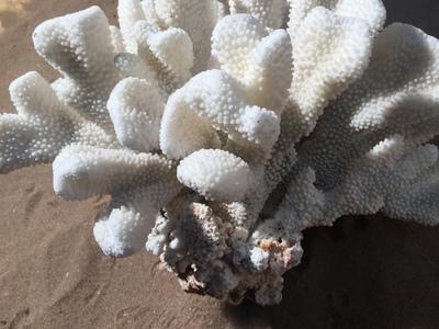 Corail patte de chat 50cm