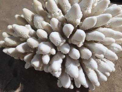 Corail doigt 30cm