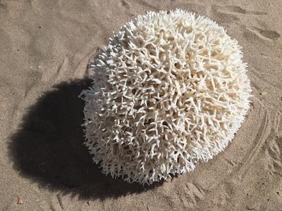 Corail nid 30cm