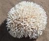 Corail nid 25cm