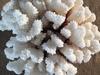 Corail patte de chat 25cm