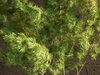 Kokedama arbre ming