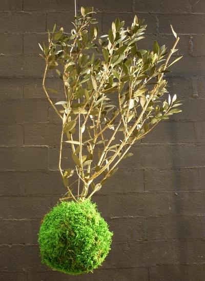 kokedama olivier
