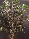Un bouleau dense en feuillage stabilisé