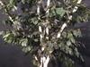 Le bouleau simple en végétaux stabilisés