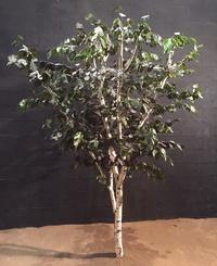 Birch tree 2.50 m high