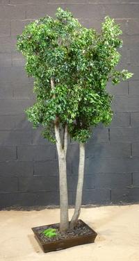 Green pittosporum 2.50 m high