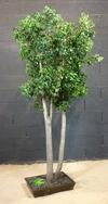 arbre en pittosporum vert de 2m50 de hauteur