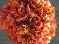Yellow/Pink hydrangea