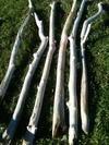 branche de 1m40 à 1m70 en 5 à 7cm de diamètre
