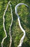 Racine de bois flotté de 70cm à 1m en 3/5cm de diamètre