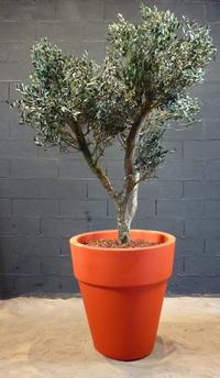 Des oliviers en végétaux stabilisés