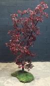 Un arbre en pittosporum rouge