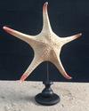 Etoile de mer à pointe rouge montée sur socle