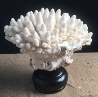 Corail doigt 30cm monté sur socle