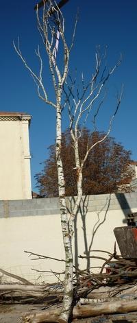 arbre bouleau de 6/7m de hauteur