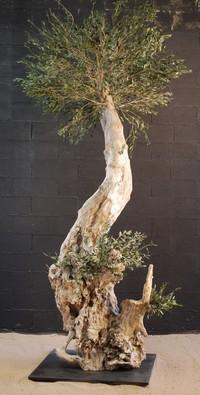 Un olivier centenaire de 3m de hauteur