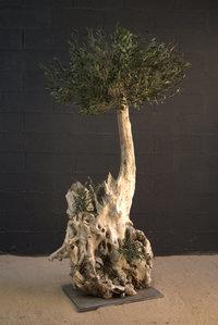 Un olivier centenaire de 2m20 de hauteur