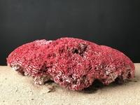 Corail tubipora rouge 38cmx25cm