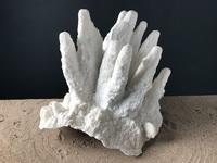 Corail corne de cerf 40cmx35cm