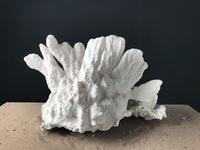 Corail corne de cerf 50cmx50cm