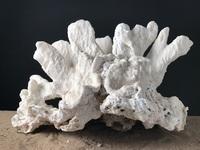 Corail corne de cerf 65cmx42cm