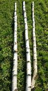 Troncs de bouleaux de 2m en 5 à 7 cm de diametre