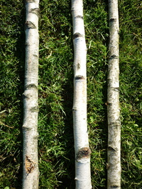 Birchwood trunks 2.5m long and  5-7cm diameter
