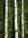 Troncs de bouleau de 2m40 en 5 à 7cm de diametre