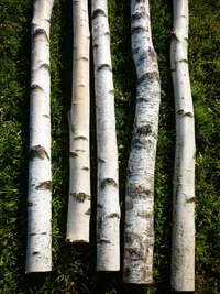 Birchwood trunks 2.5m long and 10cm diameter