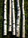 troncs de bouleau de 2m40 en 10cm de diametre