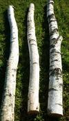 troncs de bouleau de 2m40 en 15cm de diametre