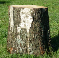 Birchwood trunk stool