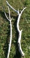 branches fourchues de 1m40 à 1m70 en 3 à 5cm de diamètre