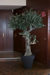 Stabilized olive tree