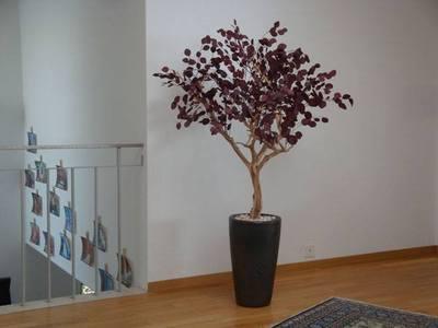 Populus rouge stabilisé