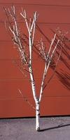 arbre bouleau ref 3176