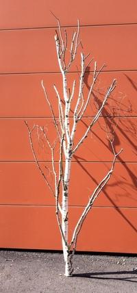 arbre bouleau ref 3172