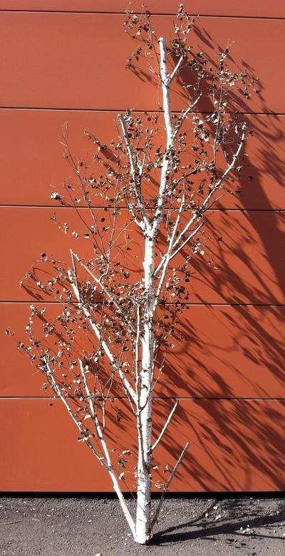 arbre bouleau ref 3171