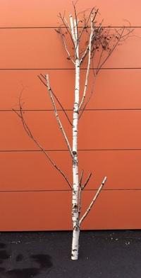 arbre bouleau ref 3158