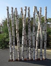 Birchwood trunks screen