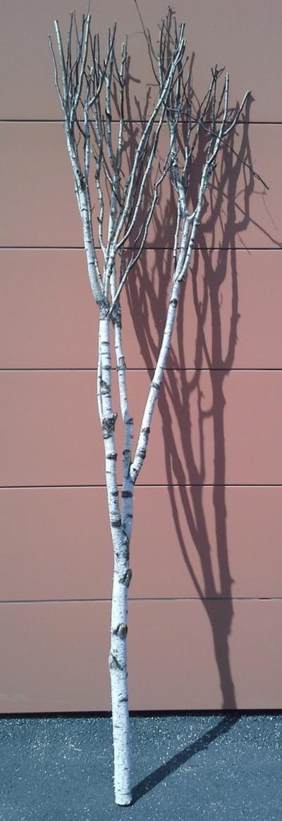 arbre bouleau la ref 2