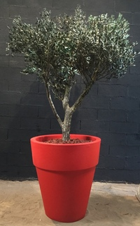 Stabilized olive tree (2m)