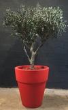 olivier stabilisé de 2m